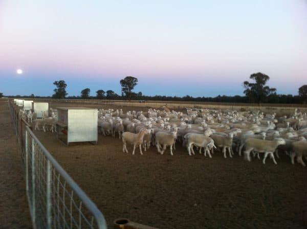 Sheep in yards